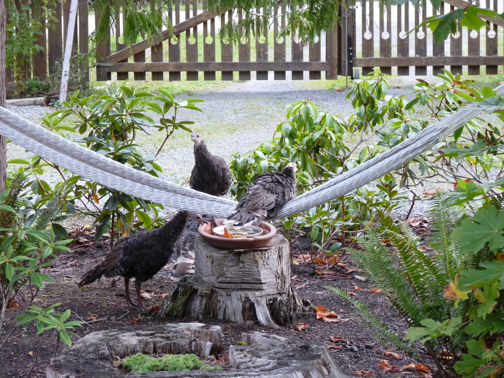 A Gabriola feral turkey, one of over 50 that live here, on our hammock