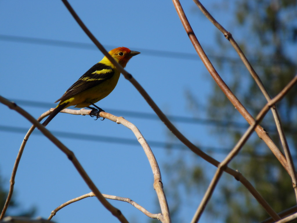 Western Tanager in breeding plumage. Surely that's beauty!
