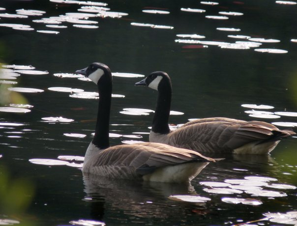 Canada Geese. Photo by Eileen Kaarsmaker.