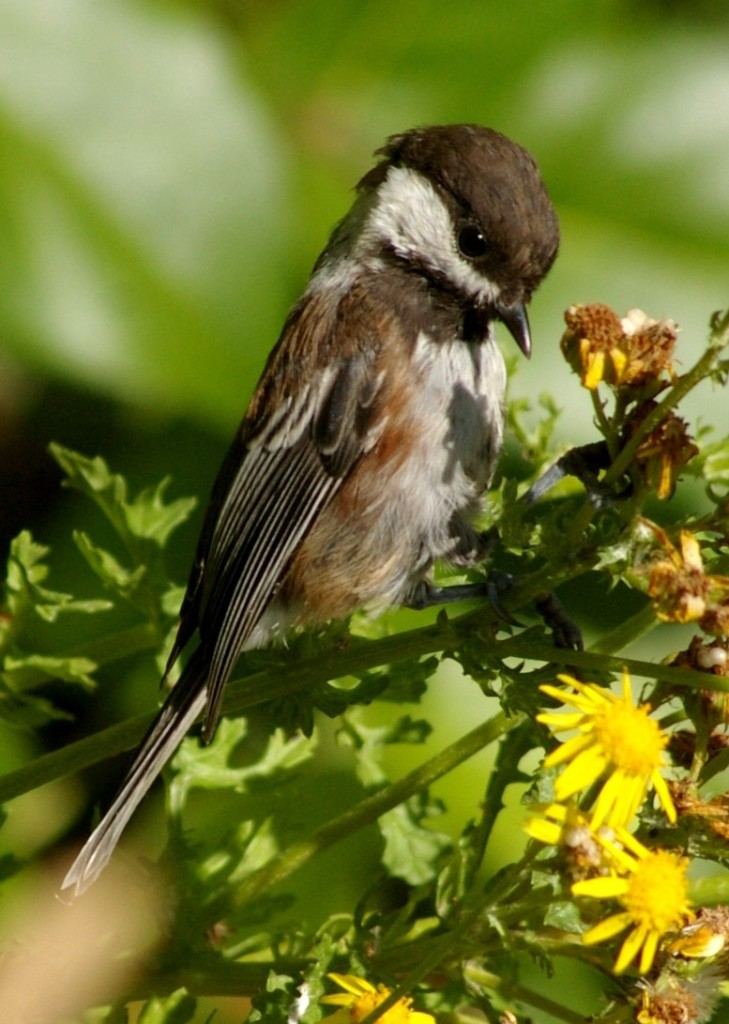 Chestnut-backed Chickadee. Photo by Garry Davey.
