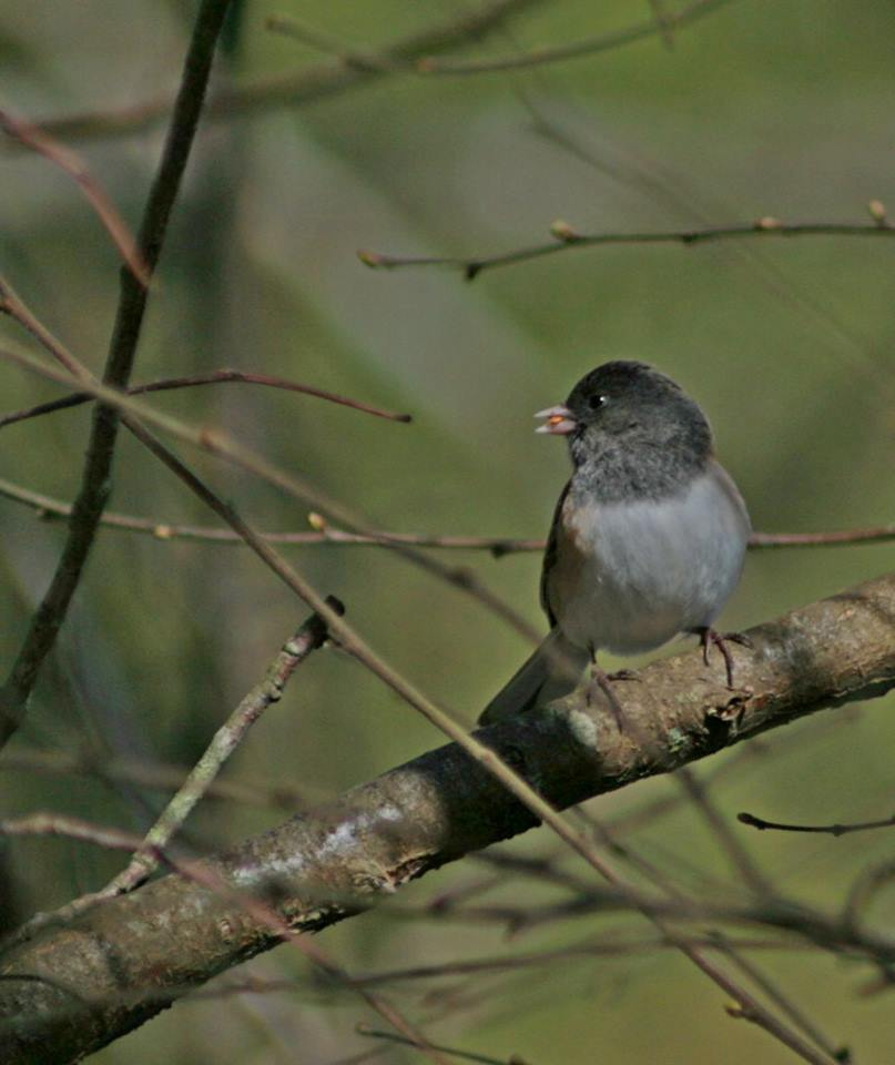 Dark-eyed Junco. Photo by Douglas Green.
