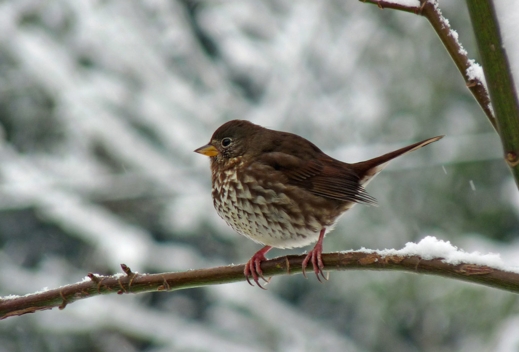 Fox Sparrow on a snowy day. Photo by Sharon McInnes.
