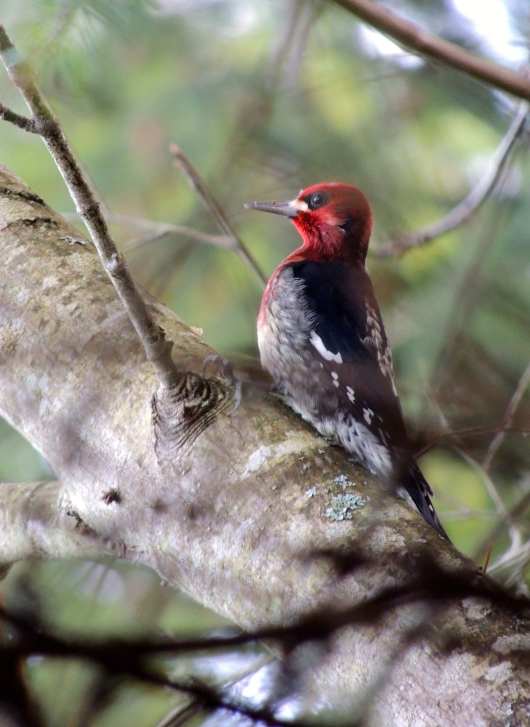 Red-breasted Sapsucker,. Photo by Zulis Yalte.