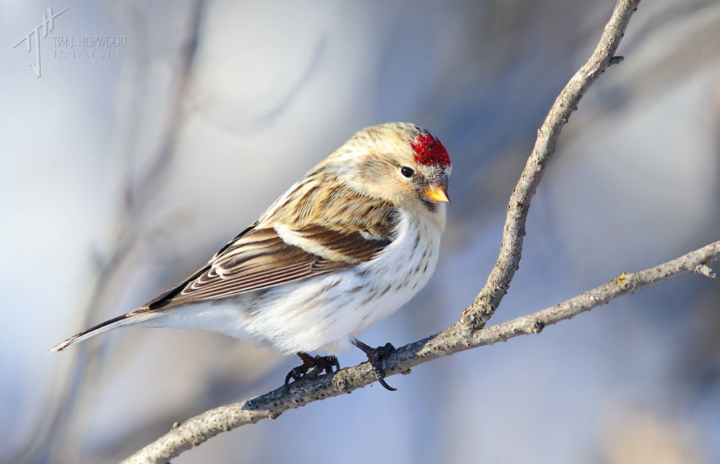 Hoary Redpoll? If yes, that would be a lifer.