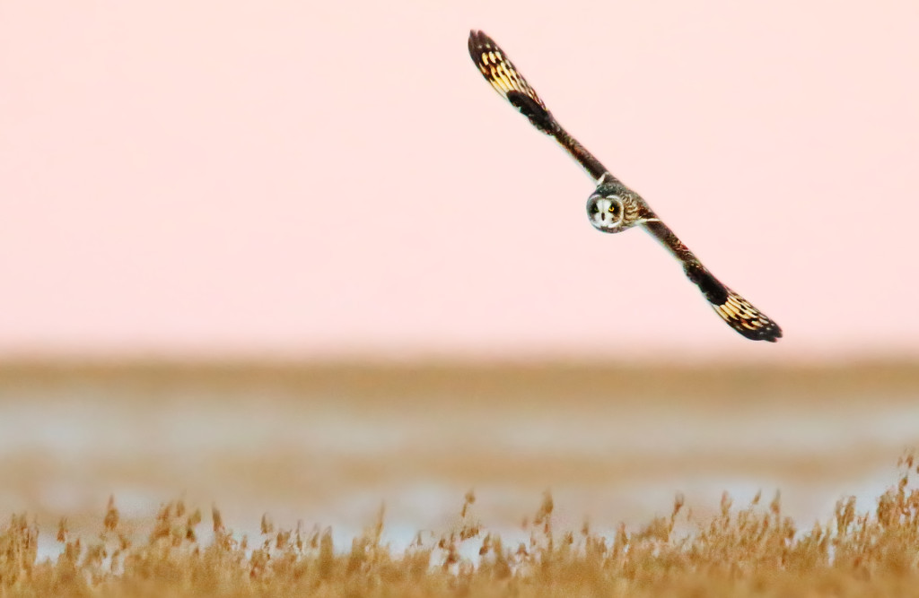 Short-eared Owl at dusk...the rapidly failing light really testing the limits of my camera gear here.
