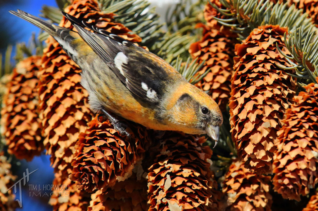 I think this may be a young male White-winged Crossbill