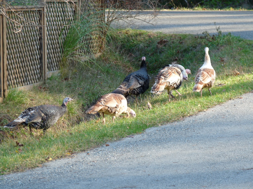 Turkeys using the side of the road instead of the middle of the road, for once.