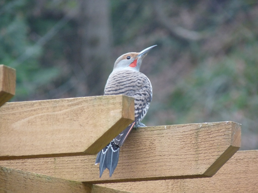 Red-shafted Northern Flicker. Photo by Sharon McInnes.