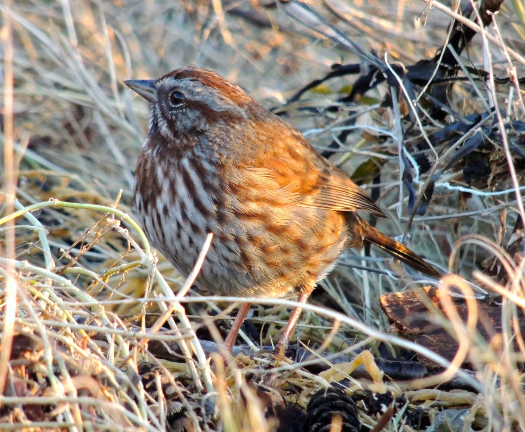 Song Sparrow. Photo by Zulis Yalte.