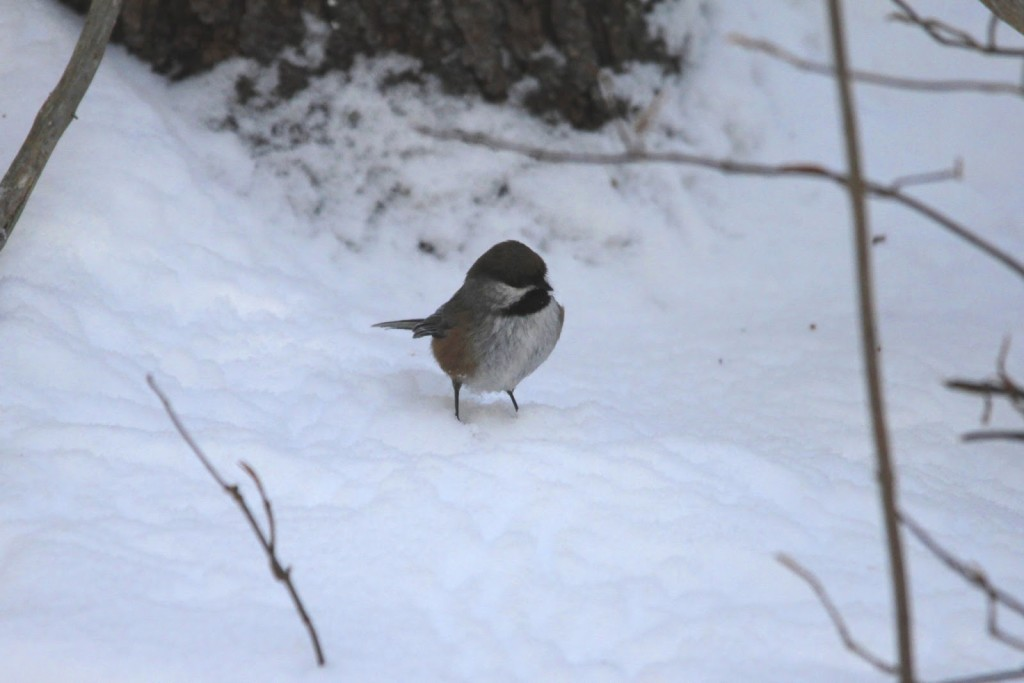 Common in the park, a Boreal Chickadee. Nov. 2013