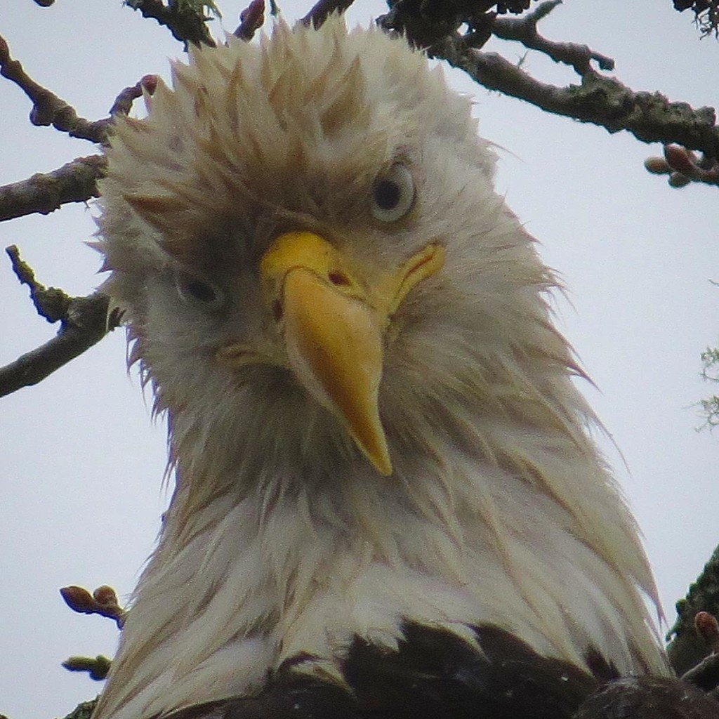 Eagle up close and personal. Photo by Tina Kirschner.