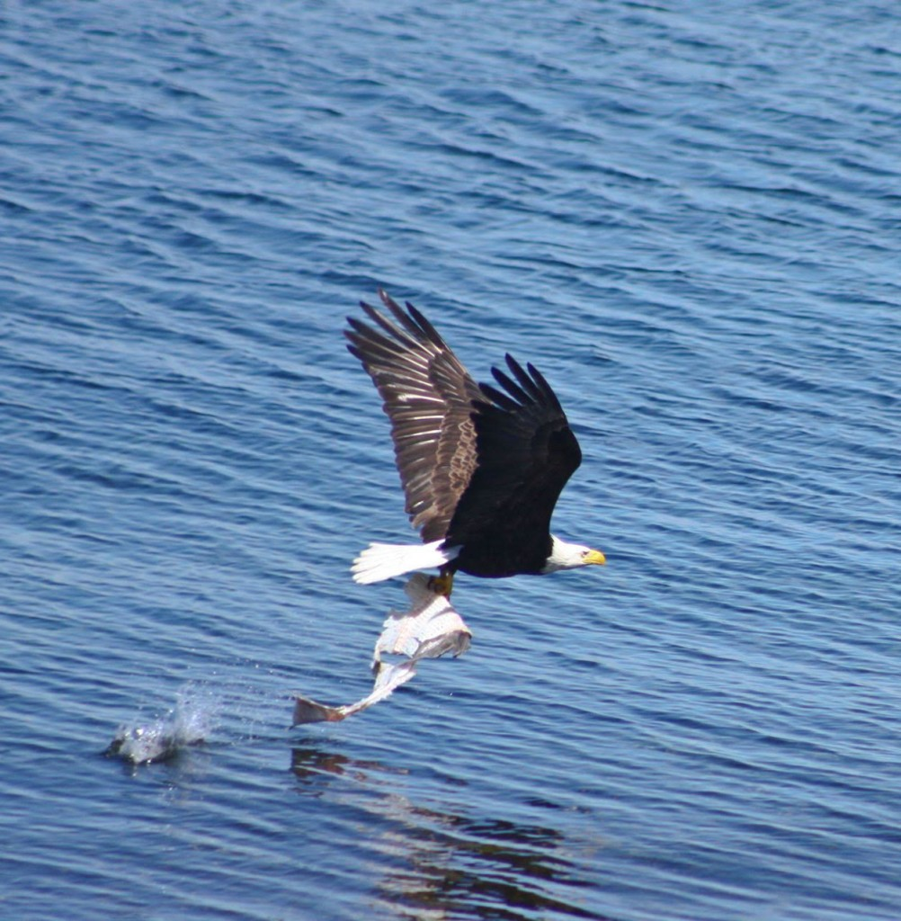 Eagle with catch. Photo by Michael Auger.