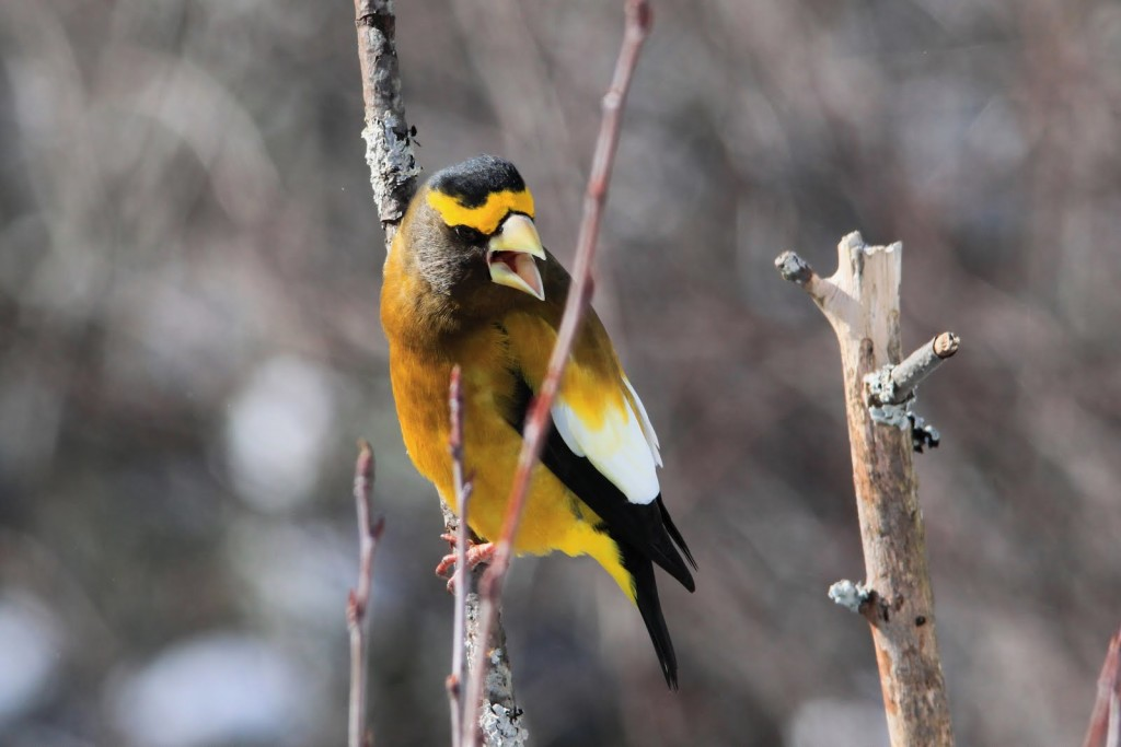 Male Evening Grosbeak Feb. 2012. Isn't he stunning?