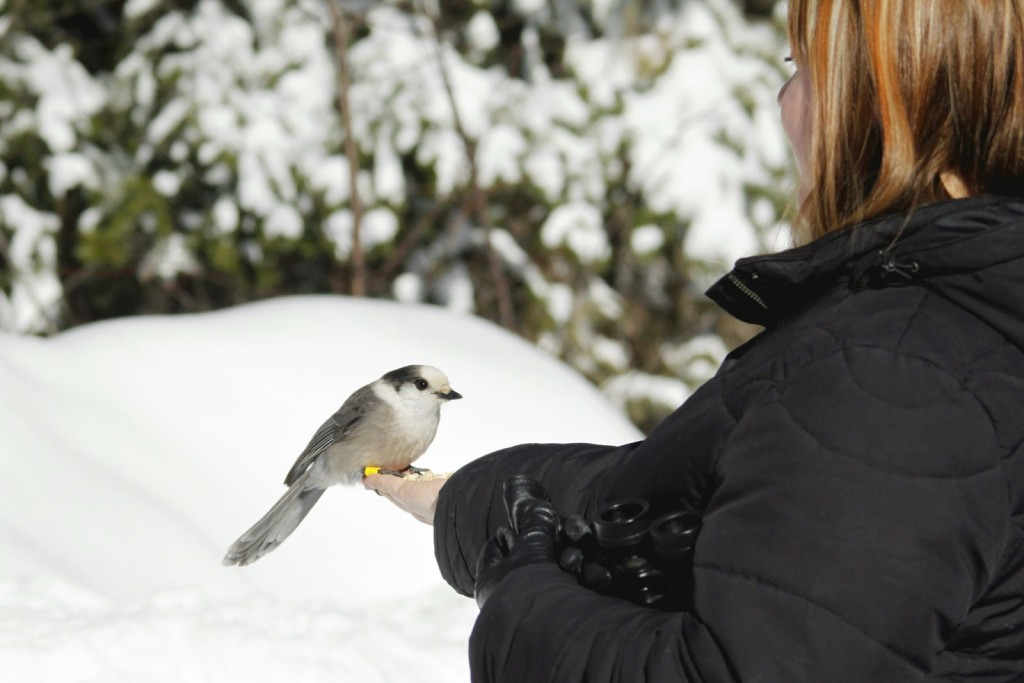 Hand feeding a Gray Jay in Algonquin Park, Feb. 2013