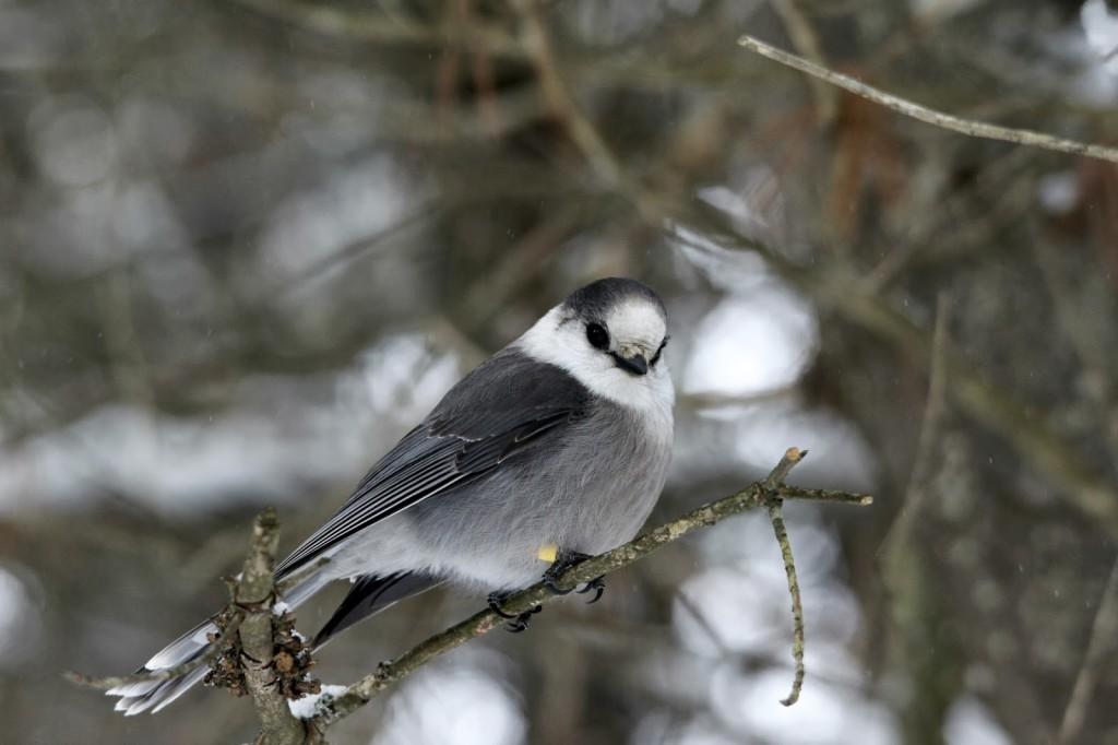 Another lovely Gray Jay. February 2014.