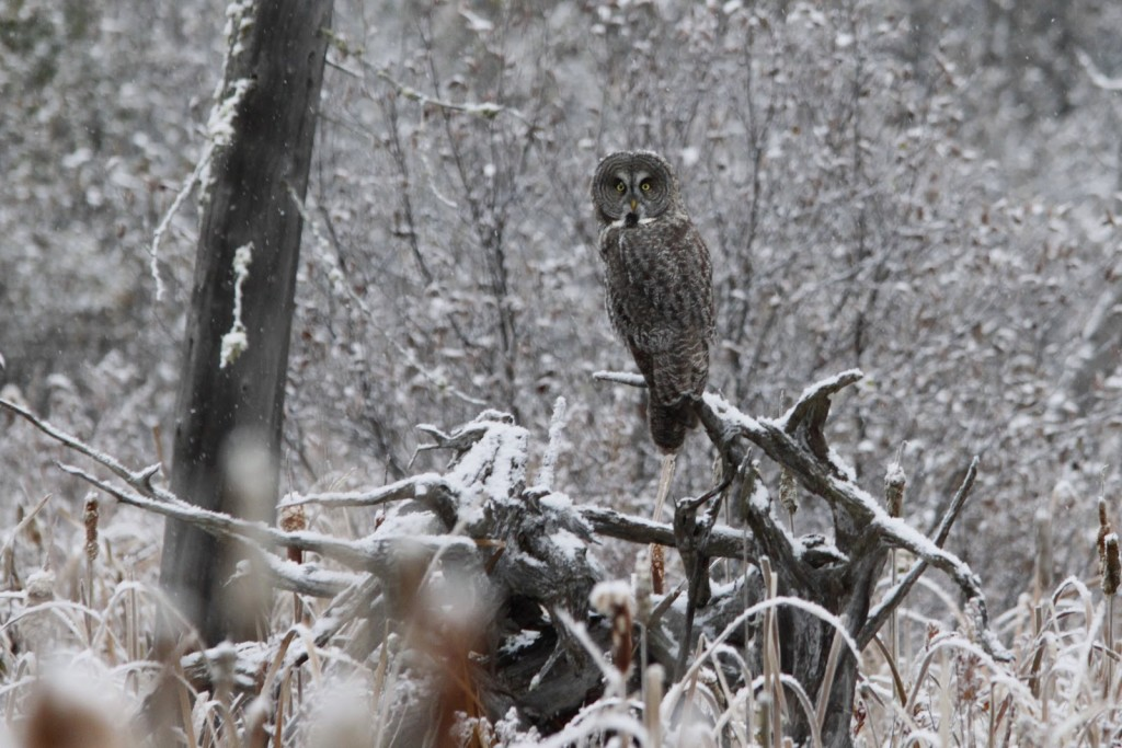 Probably our most magical sighting in the park to date, a Great Grey Owl. Oct. 2012