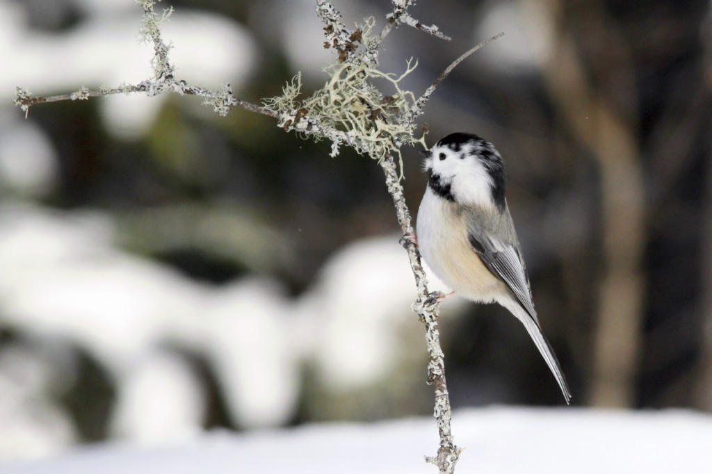 We saw a leucistic Chickadee two years in a row. February 2013