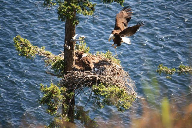 Nest with parent flying in. Photo by Tawny Capon.