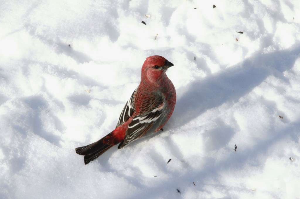 PineGrosbeak2013