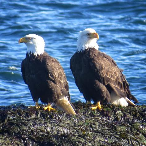 Bald Eagle pair at Whalebone. Photo by Tina Kirschner.