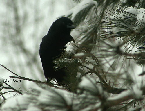 Crow in Snowy Pine Tree