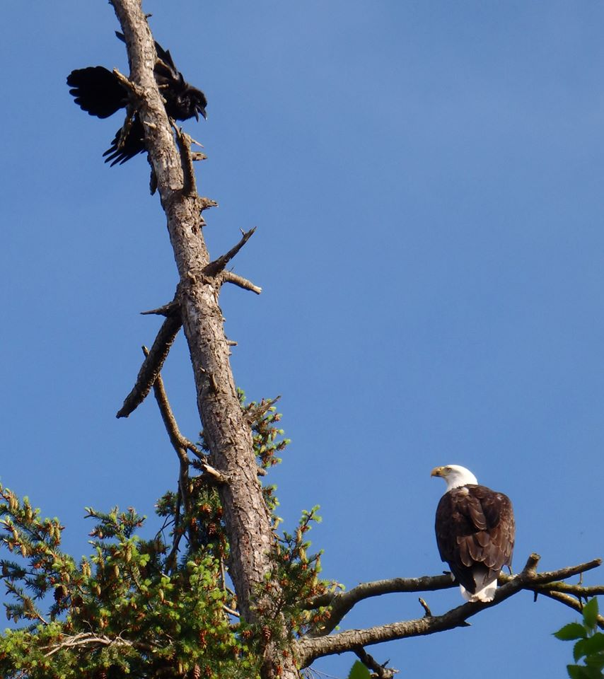 Raven explaining the facts of life to Bald Eagle. Photo by Doris Gallas.