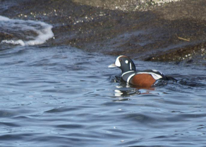 Harlequin Duck. Photo by Bill McGann.