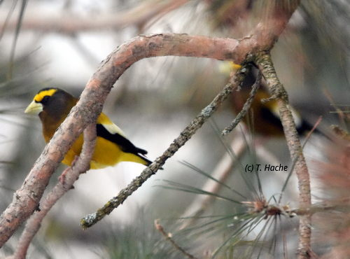 Male Evening Grosbeaks
