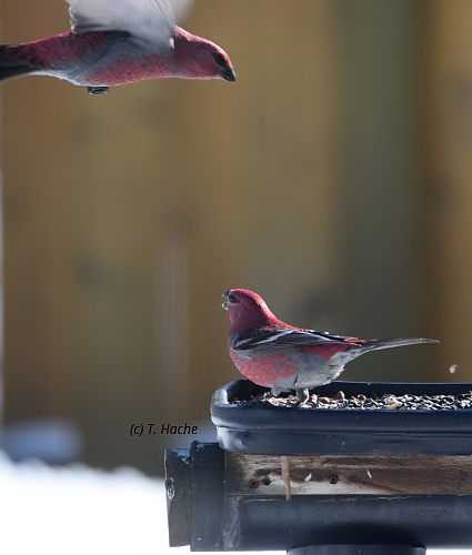 Male Pine Grosbeak Squabble
