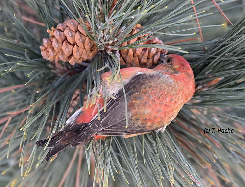 Male Red Crossbill1