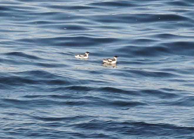 Marbled Murrelets. Photo by Ruby Chapman.