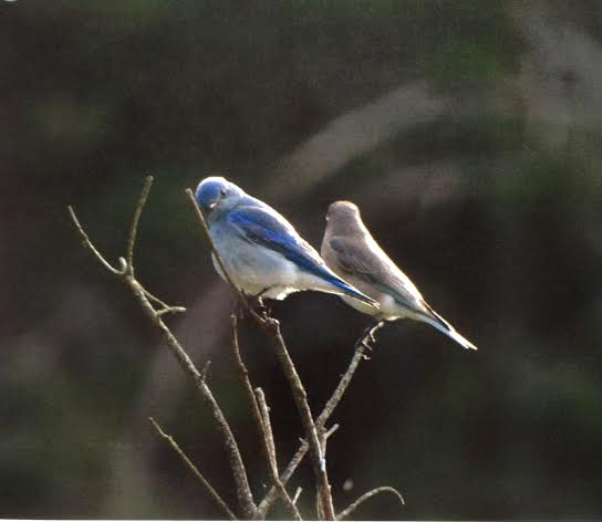 Mountain Bluebirds. Photo by Ruby Chapman.