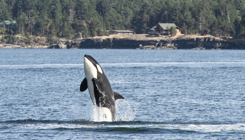 Orca off coast of Gabriola Island. Photo by Chris Straw.