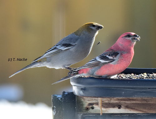 Pine Grosbeak Pair