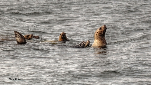 Sea Lions. Photo by Chris straw.