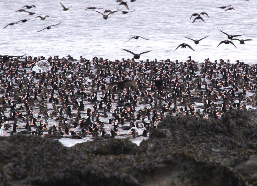 Surf Scoters along Whalebone. Photo by Dirk Huysman.