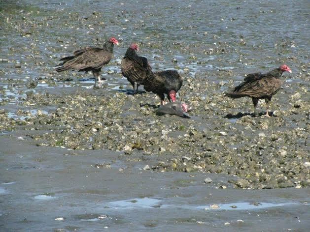 Turkey Vultures foraging on the beach. Photo by Phyllis Fafard.