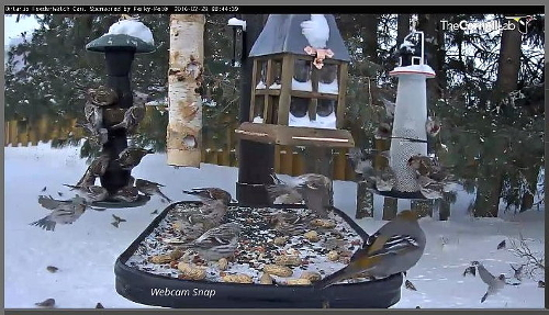 Webcam Snap Pine Grosbeaks and Redpolls