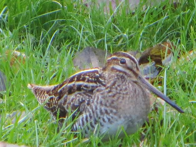 Snipe. Photo by Phyllis Fafard.