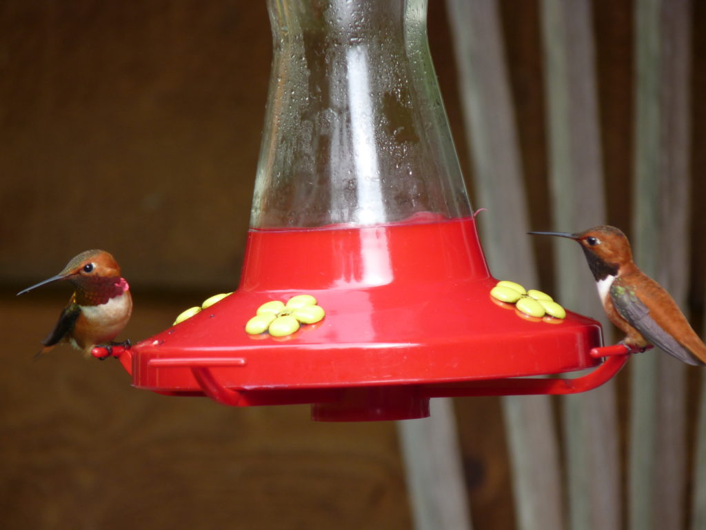 Two Rufous Hummingbirds, one drinking and one guarding -- although probably not through any kind of mutual agreement