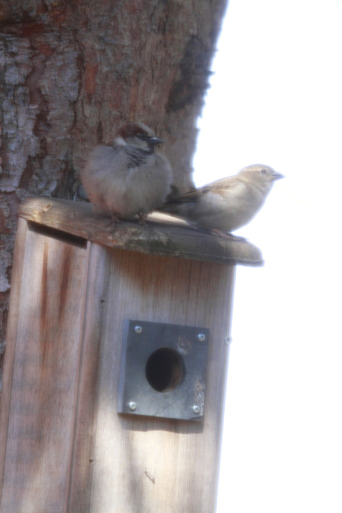 HouseSparrows