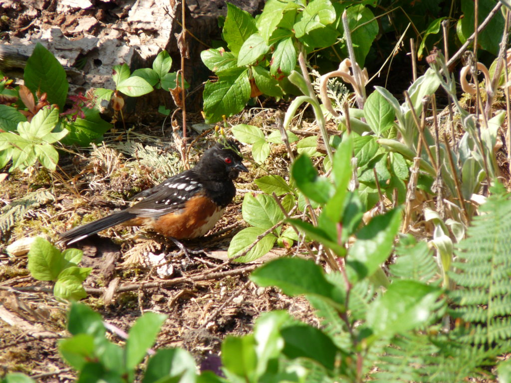 Spotted Towhee near nest site