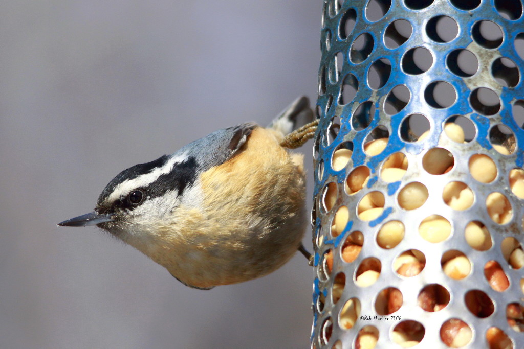 We expect the Red-breasted Nuthatches to be gone for the season soon.