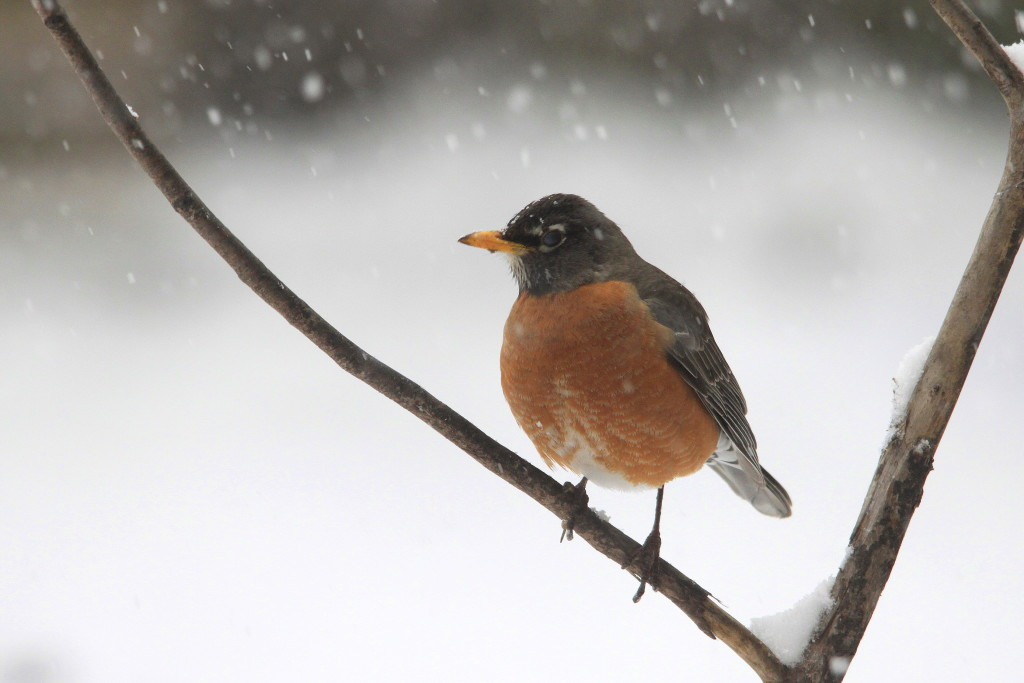 An American Robin on a snowy April day.