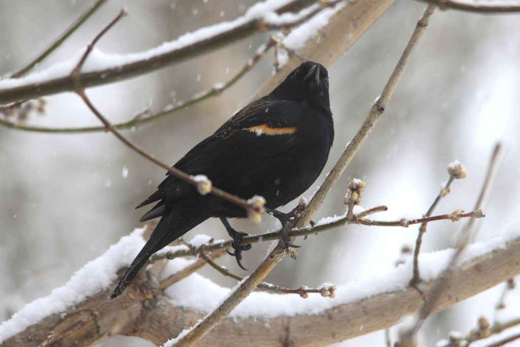 Our Red-winged Blackbirds returned March 8th this year.