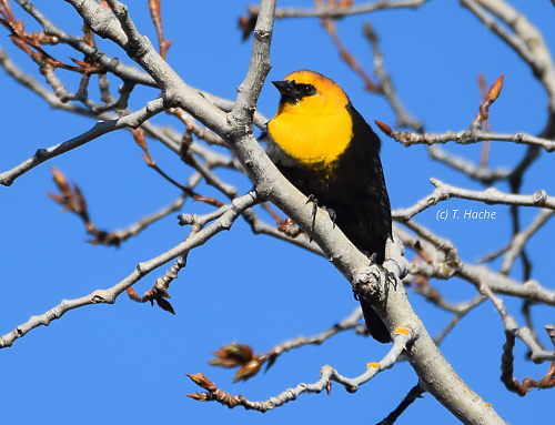 Male Yellow Headed Blackbird