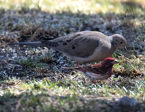 Mourning Dove & Purple Finch