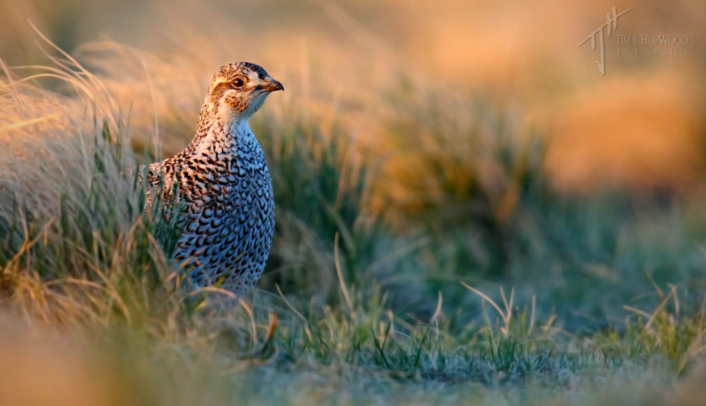 The lone female Sharp-tailed Grouse at the lek.