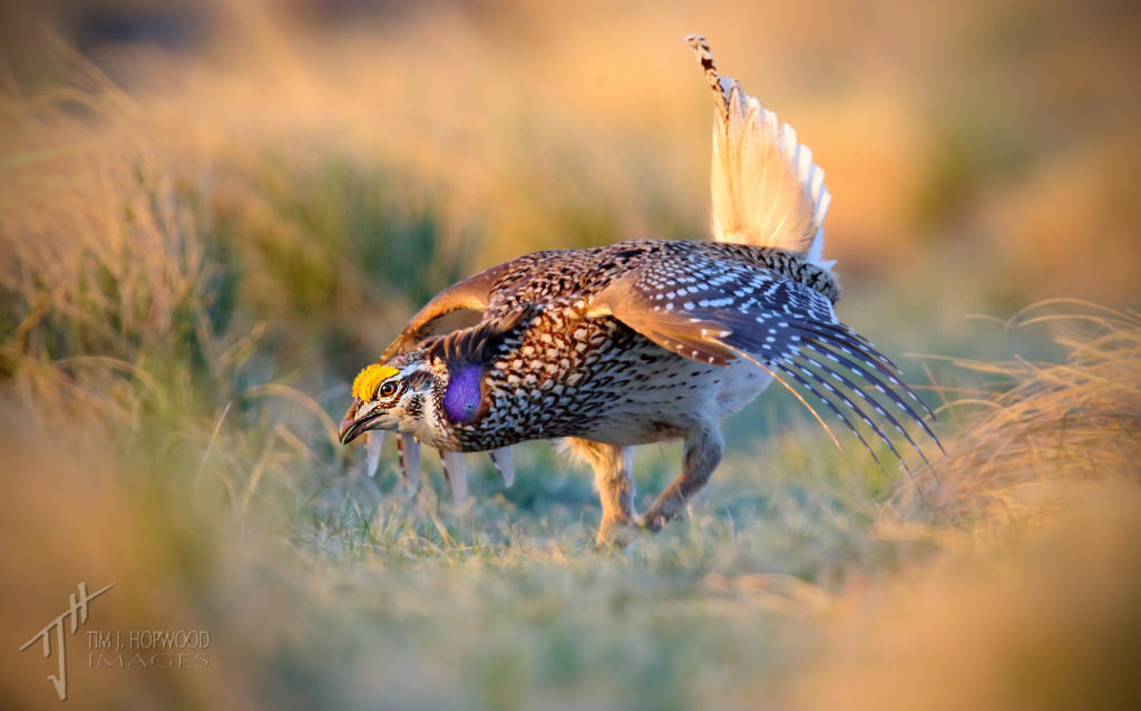 A male Sharp-tailed Grouse 'dancing' at the lek, southern Alberta.