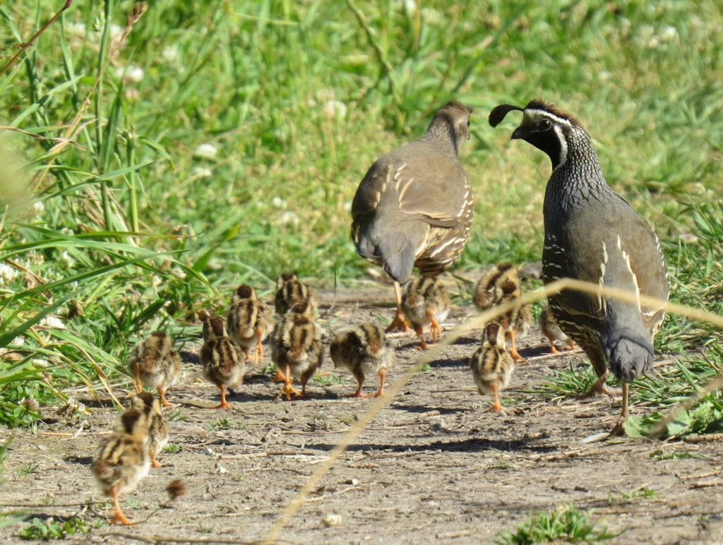 California Quail family. Photo by Patrick Roux.